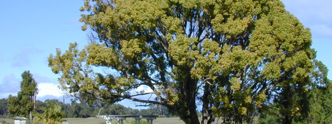 Коричное дерево или коричник цейлонский