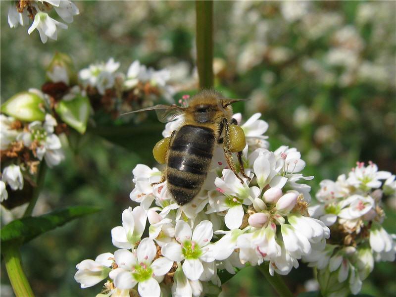Гречиха и пчелы