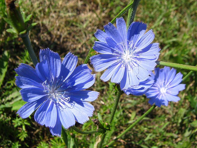 Цикорий цветки