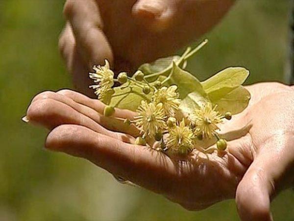 Цветы липы на ладони