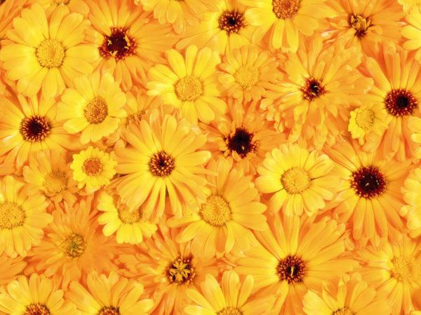 Множество цветов календулы