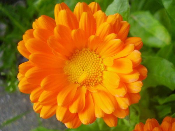 Оранжевый цветок календулы