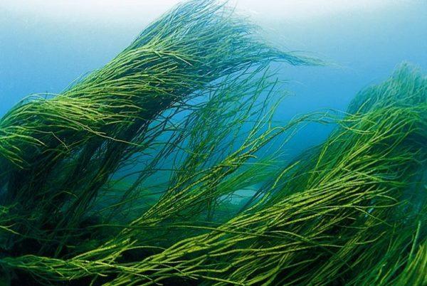 Спирулина под водой