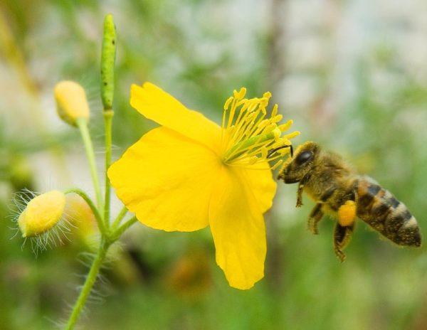 Цветок чистотела и пчела