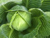 листы капусты