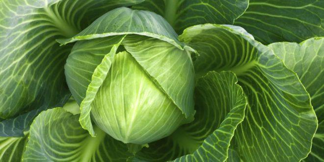 Можно ли прикладывать капустный лист