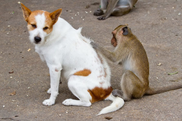 Обезьяна ищет блох у собаки