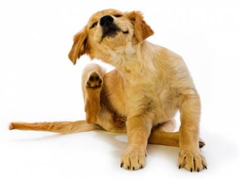 Собака чешется