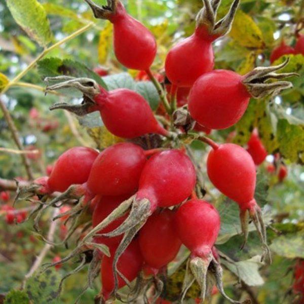 Спелые ягоды шиповника