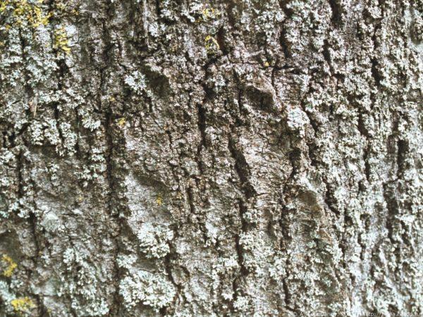 Старая кора осины
