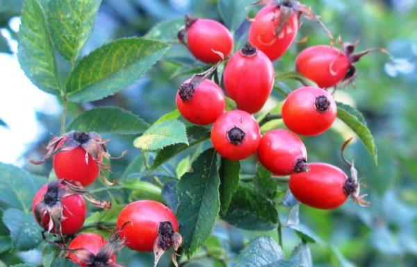 Ветка с ягодами шиповника