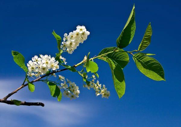 Черёмуха — листья и цветы
