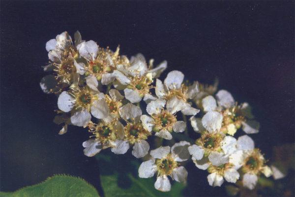 Цветочная гроздь черёмухи