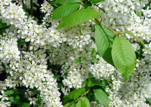 Буйное цветение черёмухи