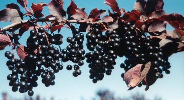 Гроздья черёмуховых ягод