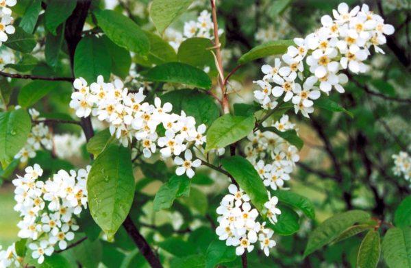 Красивые цветы черёмухи