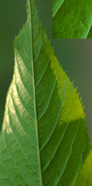 Лист черёмухи