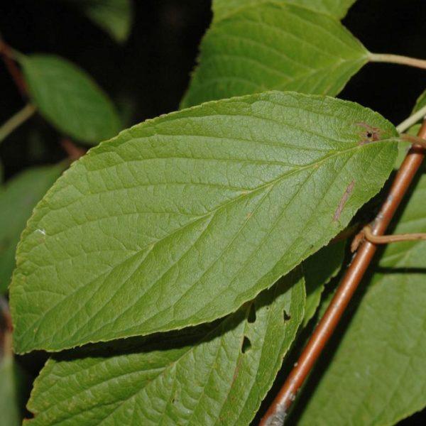 Листья черёмухи на ветке
