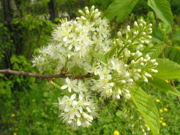 Несколько соцветий черёмухи