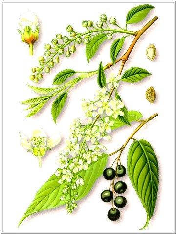 Цветы и ягоды черёмухи схематически