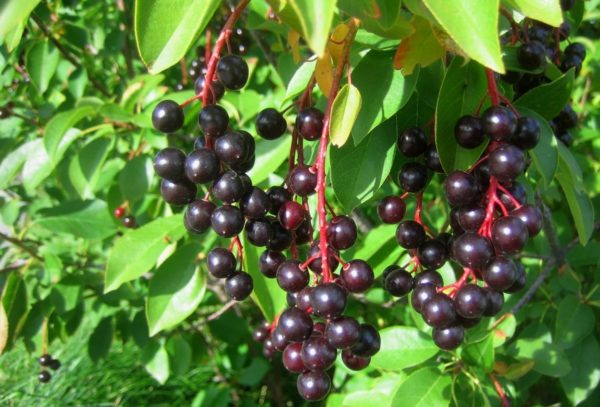 Спелые гроздья черёмухи
