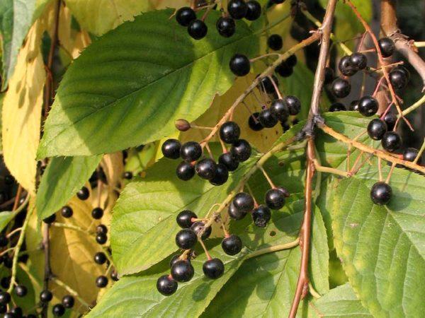 Ягоды черёмухи в грозди
