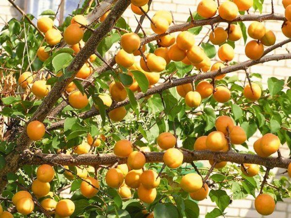 Очень много абрикосов на дереве