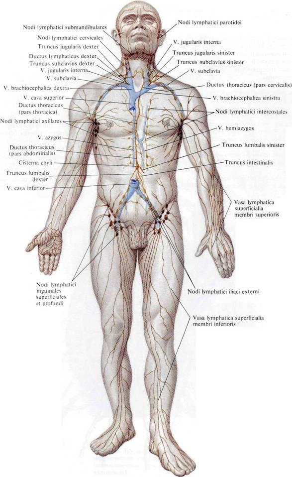 Лимфатическая система человека: схема