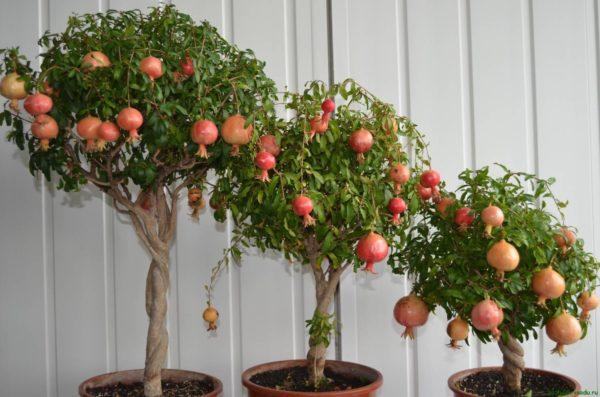 Три гранатовых деревца
