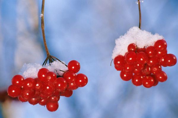Ягоды калины зимой