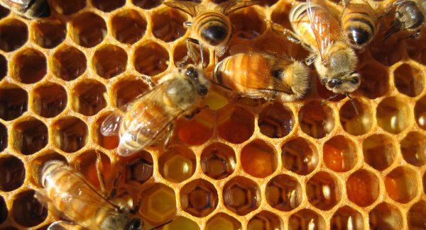 Пчёлы на сотах