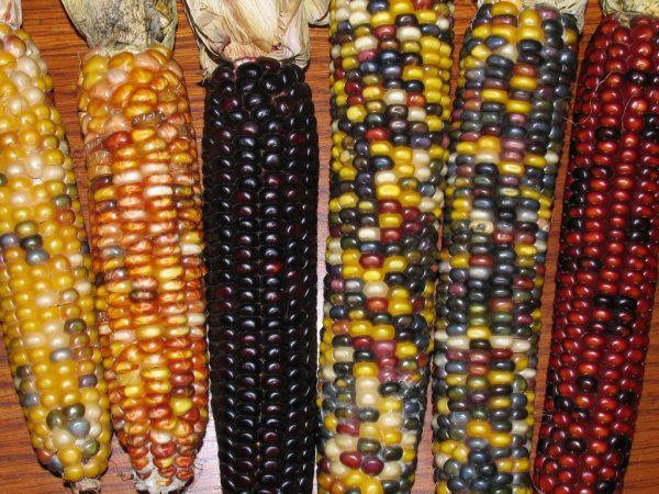 6 початков разноцветных сортов кукурузы