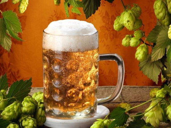 Запотевший бокал пива с пеной в окружении хмеля