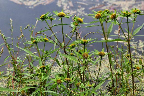 Цветы череды на фоне гор