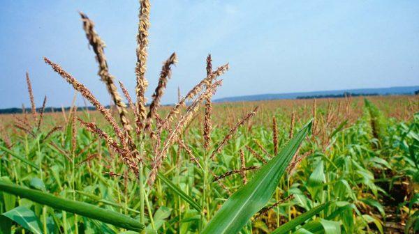 Метёлка кукурузы (мужской цветок) на фоне кукурузного поля и голубого неба