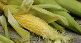 Полураскрытый початок кукурузы с рыльцами