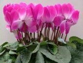 Цикламен — красивое растение,  используемое в народной медицине и косметологии