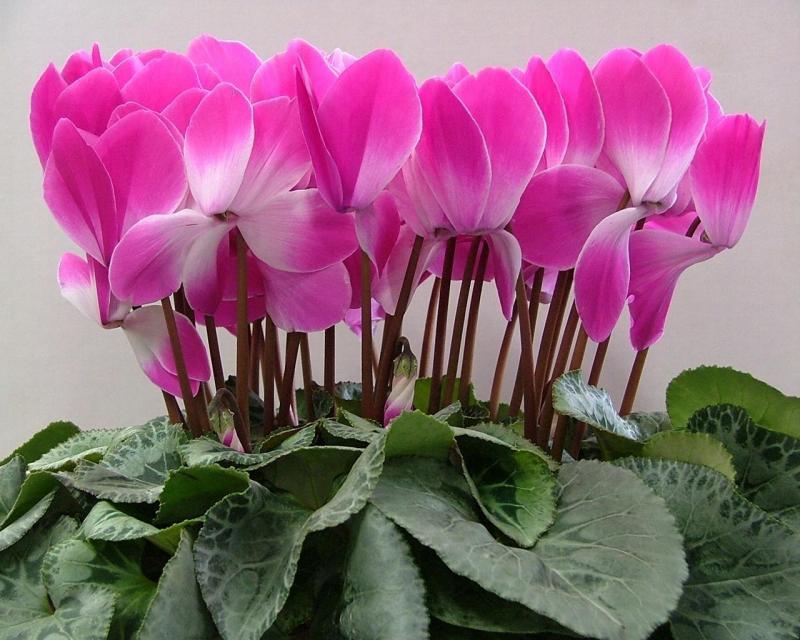 Уход за цветами в домашних условиях цикламен 43